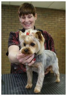 View Part 1: Clipper work on the body View Part 2: Styling the head In this lesson, award-winning stylist Suesan Watson works on an adorable Yorkshire Terrier. Like so many of our pet Yorkies, this girl has a typical coat. It is sparse. Fine. Flyaway. It lacks body. It is almost impossible to make it … #yorkshireterrier