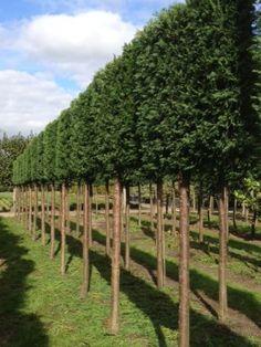 De leiconifeer blijft het gehele jaar groen. Hierdoor geeft deze leiboom het gehele jaar privacy. Bovendien zijn deze leibomen gemakkelijk in onderhoud (snoeien als een gewone haag).