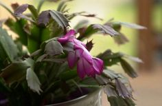 Close up of Christmas Cactus blooming