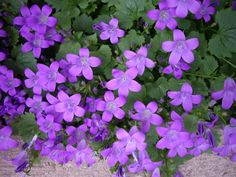 campanula flower | There is hardly a group of flowers which possess such rare beauty as ...