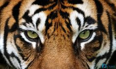 The eyes of a tiger - CB