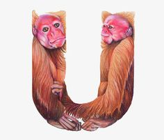 Simples Macacos Letra u, Simples, O Macaco, A Letra UPNG e PSD