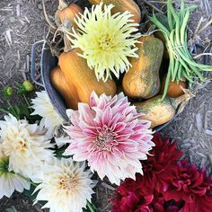 Edible beauty. Yes. Dahlia flowers and their tubers are edible. Remember that the next time you salad needs some cheering up. Just pluck a few multicolored petals and sprinkle them in. #dahlias #edibleflowers #harvest #farmtofork #vegetablegarden