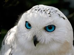 Cool Exotic Animals | Snowy Owls