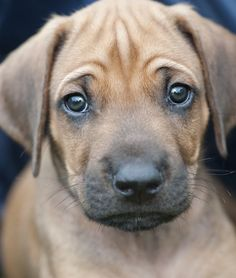10 Cool Facts About Rhodesian Ridgebacks - Dogs Tips & Advice | mom.me