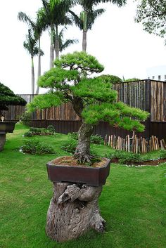 JPB:Bonsai Collection5  | 台北花博 養生館外庭園區 | Flickr - Photo Sharing!