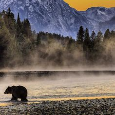 A grizzly bear out for a stroll during a beautiful morning. Grand Teton National Park, Wyoming