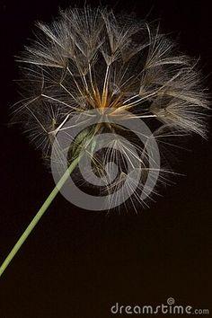 background-wildflower-flying-seeds-meadow-salsify-goat-s-beard-tragopogon-pratensis