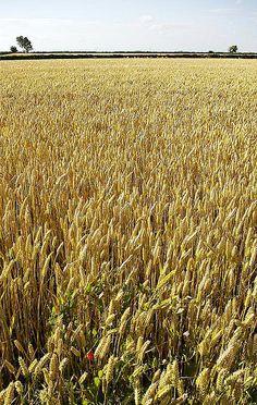 champs de blé avec coquelicot au premier plan et ciel
