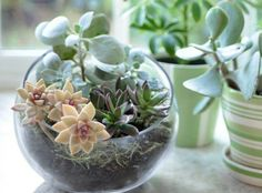 for Tabletop Gardens and Terrariums Round Globe Terrarium. I need a few of these around the house Globe Terrarium. Terrarium Diy, Terrariums, Terrarium Centerpiece, Centerpiece Ideas, Small Terrarium, Planting Succulents, Planting Flowers, Summer Centerpieces, Decoration Plante