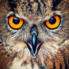 Eagle Owl Eyes by Allard Schager