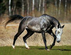 Akhal teke stallion, Ovlak.
