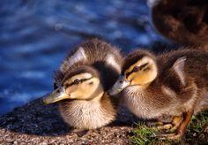 Mallard Ducklings by Paul Hutchinson on 500px  Mallard ducklings in the Torquay sunshine. #Devon #Torbay #Torquay #ducklings #ducks #mallard #sun #sunshine