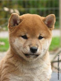 peanut isnt as husky as this Shiba Inu pup