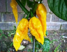 fatalii Chili ,Hot Pepper Seed,( Capsicum chinense) ,one of the world hottest chilies related to Habanero, Heirloom Vegetable seed