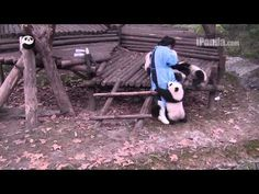 Keeper feeding panda cubs bottled milk Part 2 - YouTube