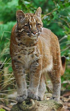 Asian Golden Cat (Fire Tiger)