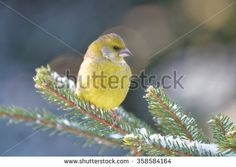 Greenfinch (Chloris chloris) is a small passerine bird in the finch family.