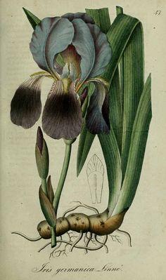 Iris germanica L. Florentine Iris, German iris, Orris root. Dietrich, A.G., Flora regni borussici, vol. 1: t. 47 (1832-1833) [A.G. Dietrich]