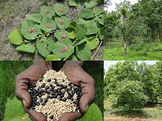 Medicinal Rice Formulations for Diabetes Complications, Heart and Kidney Diseases (TH Group-91 special) from Pankaj Oudhia's Medicinal Plant Database
