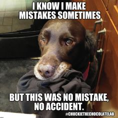 Chuckie the Chocolate Lab Dog Pictures, Animal Pictures, Funny Dogs, Funny Memes, Mixed Breed, Picture Captions, Cute Baby Animals, Dog Stuff, Dog Breeds