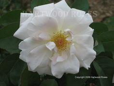 White Killarney Tea Rose