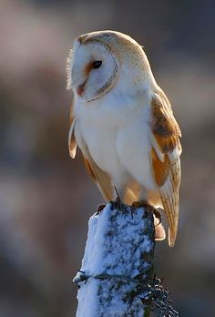 Sunlit Barn owl perched on a snowy fence post. Beautiful Owl, Animals Beautiful, Cute Animals, Owl Photos, Owl Pictures, Nocturne, Strix Nebulosa, Nocturnal Birds, Owl City