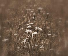 E impari... Good Night, Dandelion, Flowers, Plants, Nighty Night, Dandelions, Plant, Taraxacum Officinale, Royal Icing Flowers