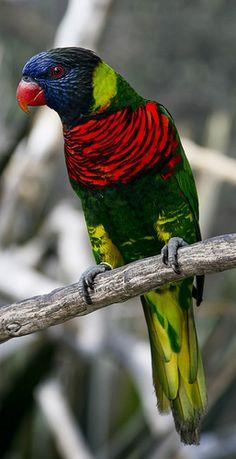 Rainbow Lorikeet - In the Australian forest.