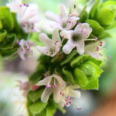 Really beautiful tiny white flowers on the oregano in my garden.  #macro #closeup #mygarden #macro_freaks #macro_perfection #macroworld_tr #herbs #foodporn #foodphotography #flowers #flowerstagram #instagood #summer
