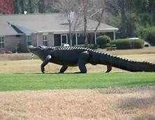 Alligators In Florida - Bing Images