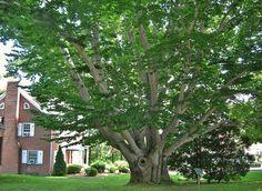 File:American Beech Tree, West Hartford, CT - July 6, 2013.jpg
