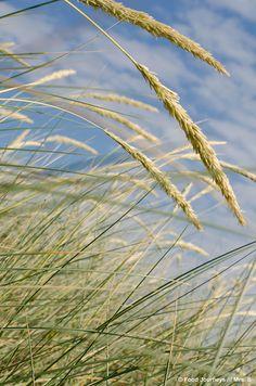 grass plumes