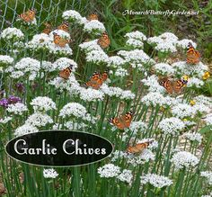 Garlic chives have showy white blooms and are a preferred late-season nectar source for many pollinators including beneficial bees and butterflies