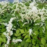 Astilbe thunbergii 'Prof van der Wielen' - Pluimspirea Herbs, Plants, Seeds, Herb, Plant, Planets, Medicinal Plants