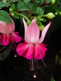 Fuchsia  For More.. http://flowerhomes.blogspot.com https://facebook.com/flowerofworld