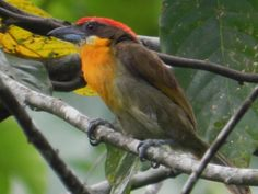 Foto capitão-de-coroa (Capito aurovirens) por Geovane Gomes | Wiki Aves - A Enciclopédia das Aves do Brasil
