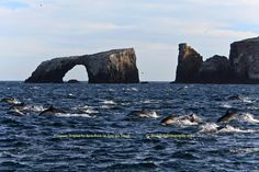 Common Dolphin by Arch Rock on Anacapa Island
