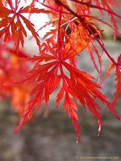 Japanese maple leaf against stone ⓒ Michaela at TGE