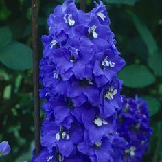 Delphinium 'Bluebird'  Zone 3-7