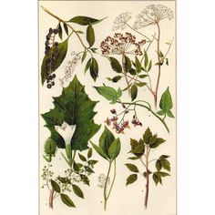 1900s Botanical Print Poisonous Plants Poison Ivy Oak and More Antique... ($9) ❤ liked on Polyvore featuring home, home decor, wall art, fillers, backgrounds, decoration, images, pictures, floral illustration and new york wall art