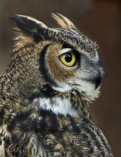 Great Horned Owl. Apparently we have at least one of these magnificent creatures living in our backyard. We hear him gently hooting at night. Can't wait to get a look at him (or her)!