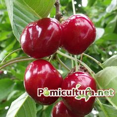 Jacque Pepin, Cherry, Fruit, Vegetables, Food, Home, Essen, Vegetable Recipes, Meals