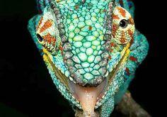 Colorful Lizards   Colorful Lizard