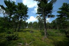 Wildcat Ridge in the Pinelands or Pine Barrens, NJ Courtesy of Flickr/Creative Commons
