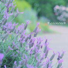 #ラベンダー#lavender#flower#フレンチラベンダー