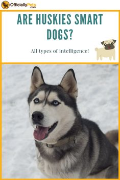 Huskies are smart dogs, just not in your traditional 'book smart' sense. These dogs have a great sense of humour and will work out how to get what they want Husky, Types Of Intelligence, Cute Dog Photos, Loyal Dogs, Large Dog Breeds, Dog Mom Gifts, Baby Dogs, Training Your Dog, Dog Care