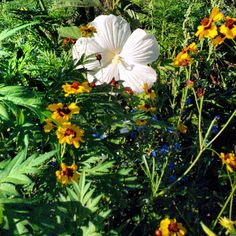 Employee picture of Blue River Hibiscus & Fall Max Wildflower Mix. Plant wildflowers in your perennial and bulb beds for a vibrant array of color and blooms all season long!