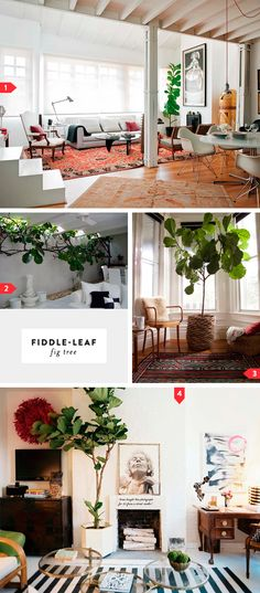 The fiddleleaf or banjo fig (Ficus lyrata) has large, glossy, tropical looking leaves shaped like the base of a violin. It's hardy, doesn't drop its leaves and indoors it is virtually unkillable. It tends to grow long stems up to the ceiling which can look a bit gangly, but they can be pruned if necessary. The fiddleleaf fig makes a wonderful indoor accent plant.
