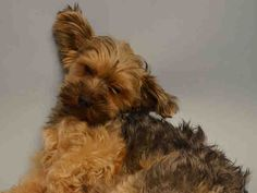 SAFE 7-24-2015 --- SUPER URGENT Manhattan Center SHAWNIE – A1044789  I am an unaltered male, black and gold Yorkshire Terrier mix.  The shelter staff think I am about 8 years old.  I was found in NY 10458.  I have been at the shelter since Jul 20, 2015.